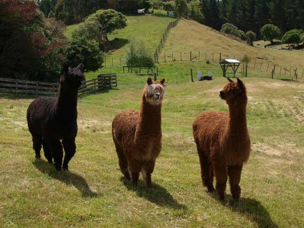 Bellbird Ridge Alpaca B&B Farmstay